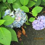境内の植栽(アジサイ)