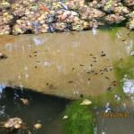 大池にオタマジャクシがいます