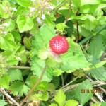 植栽の様子(ヘビイチゴ)