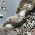大池の様子(カエルたち)