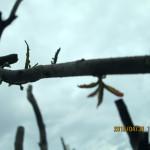境内の植栽(ヤマモモ)