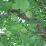 植栽の様子(梅の実)