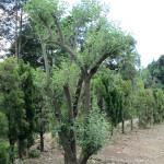 境内の植栽(グミ)