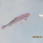 大池の鯉たち