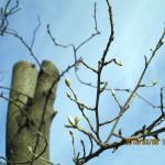 グミの木のつぼみ