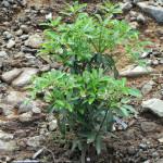 境内の植栽(シキミ)