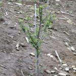 植栽の様子(センダンの木)