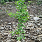 境内の植栽(イチョウ)