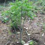 境内の植栽(センダン)