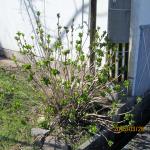 境内の植栽(アジザイ)