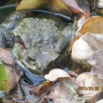 涅槃池に浮かぶカエルの様子