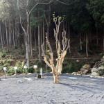 ヤマモモの木の移植