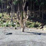 ヤマモモの木