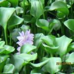 ホテイ草の花の様子