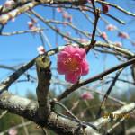 境内の植栽(梅の花)