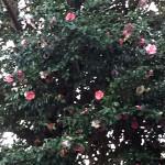 椿(つばき)の木