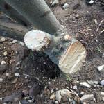 グミの木の保護