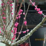 境内の植栽(梅の木)