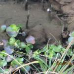 ホタル池のホテイ草