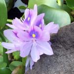 涅槃池の花の様子