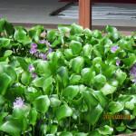 涅槃池のホテイ草の花