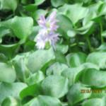 大池の様子(ホテイ草の花)