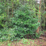 境内の植栽(サカキ)