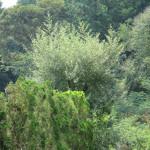 境内の植栽の様子(ゴムの木)