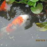 涅槃池の鯉たち