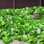 境内の植栽(ホテイ草)
