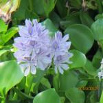 境内の植栽(ホテイ草の花)