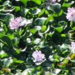 大池の様子(ホテイ草)