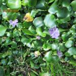 境内の植栽(ホテイ草)の様子