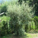 境内の植栽(グミの木)の様子