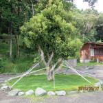 ヤマモモの木の様子(台風対策)