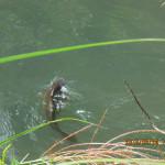 ホテル池の鯉たちの様子