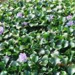 大池のホテイ草