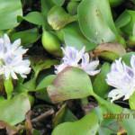 境内の植栽の様子(ホテイ草の花)