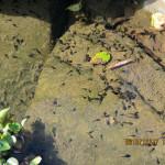 大池の様子(オタマジャクシがいました)