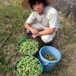 収穫した梅の実