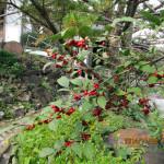 境内の木の実