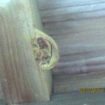 護摩堂の入口(庇裏)に蜂の巣がありました。