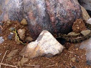 マムシと思しき蛇です