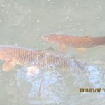 ホタル池の鯉たち