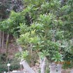 ヤマモモの木の葉