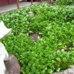 境内の植栽の様子(ホテイ草)
