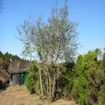 境内の植栽の様子(グミの木)