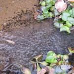 大池の様子(オタマジャクシ)
