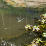 大池の様子(鯉たち、トンボ)