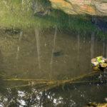 大池の様子(鯉たち)